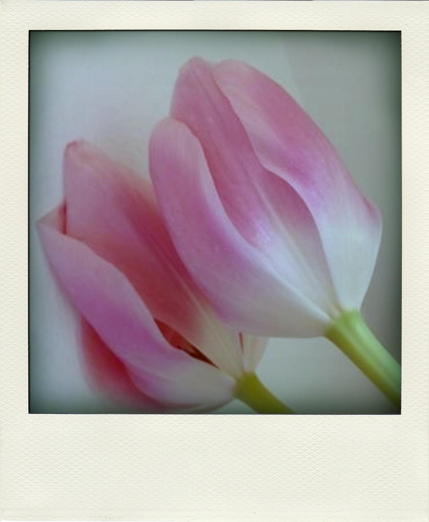 tulpen-pola